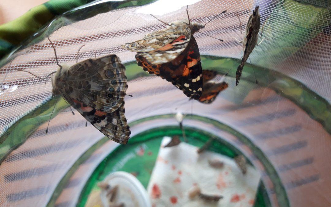 Wie ein Schmetterling entsteht